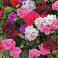 Geranium (Trailing) Trade Bedding Pack