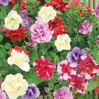 Petunia (Trailing) Trade Bedding Pack