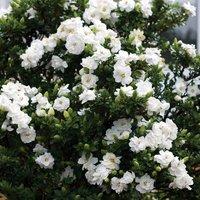 Gardenia 'Crown Jewels'
