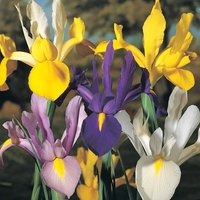 Iris 'Dutch Mixed'