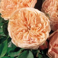 Rose 'Scented Doubles Apricot'