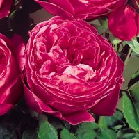 Rose 'Scented Doubles Cerise'