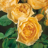 Rose 'Breeder's Choice Gold'