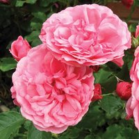 Rose 'Scented Double Pink'