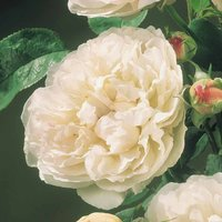 Rose 'Scented Doubles White'