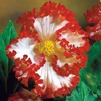 Begonia 'Crispa Marginata'