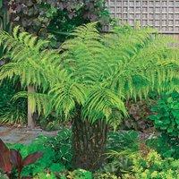 Tree Fern, Australian Tree Fern