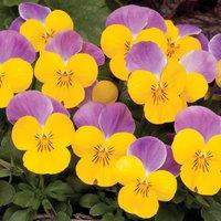 Viola 'Sorbet Yellow Pink Wing'