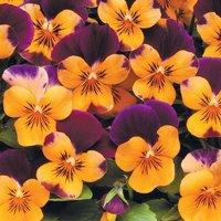 Viola 'Sorbet Orange Jump Up'