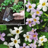 Bacopa Duo (Garden Ready)
