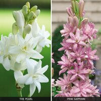 Polianthes 'Duo Collection'