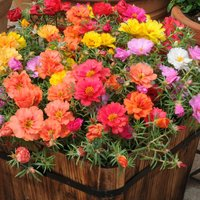 Portulaca Mixed