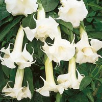 Angels Trumpets 'White'