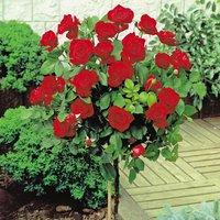 Rose Standard Red (40cm stem)