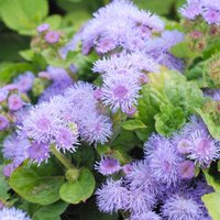 Ageratum houstonianum 'Blue Mink' (Seeds)