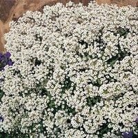 'Alyssum 'carpet Of Snow' (seeds)