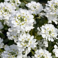 Candytuft 'Giant Hyacinth Flowered' (Seeds)