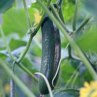 Cucumber 'Burpless Tasty Green' F1 Hybrid (Seeds)
