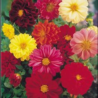 Dahlia variabilis 'Dwarf Mixed' (Seeds)
