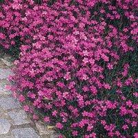 Dianthus deltoides