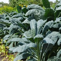 Kale 'Nero di Toscana' (Seeds)