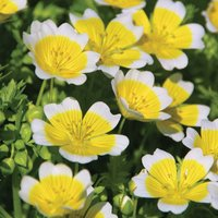 Limnanthes douglasii (Seeds)