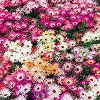 'Mesembryanthemum Criniflorum 'magic Carpet Mixed' (seeds)