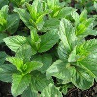 Mint (Seeds)
