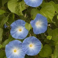 Morning Glory 'Heavenly Blue' (Seeds)