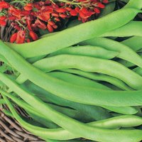 Runner Bean 'Enorma' (Seeds)