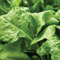 Spinach 'Perpetual' (Spinach Beet) (Seeds)