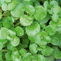Watercress (Seeds)