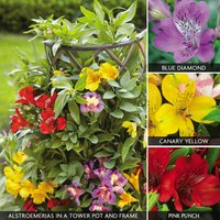 Alstroemeria 'Climber Collection'