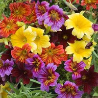 Salpiglossis sinuata 'Royale Mixed' (Garden ready)