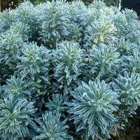 Euphorbia characias