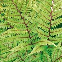Athyrium niponicum var. pictum 'Vidalii'