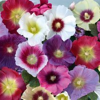 'Hollyhock 'halo Mixed' (seeds)