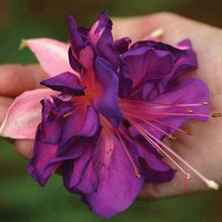 Fuchsia 'Royal Mosaic'
