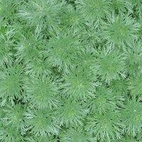 Artemisia arborescens 'Powis Castle'