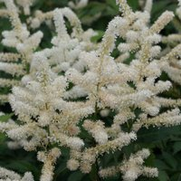 Astilbe japonica