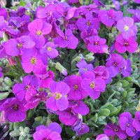 Aubrieta 'Axcent Deep Purple'