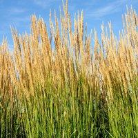 Calamagrostis x acutiflora
