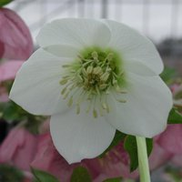 Hellebore 'Single Clear White'