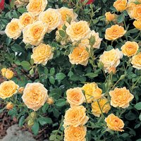 Rose Yellow Fairy (Shrub Rose)