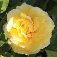 Rose 'Easy Elegance Yellow Brick' (Shrub Rose)