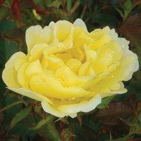 Rose 'Easy Elegance Yellow Submarine' (Shrub Rose)