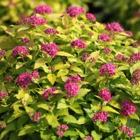Spiraea japonica 'Double Play Gold'