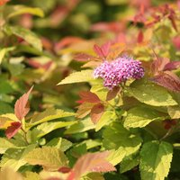 Spiraea japonica 'Pink and Gold'