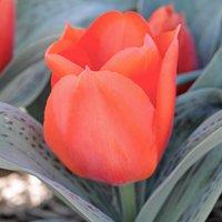 Tulip 'Giant Orange Sunset'
