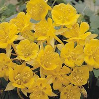 Aquilegia chrysantha 'Yellow Star'